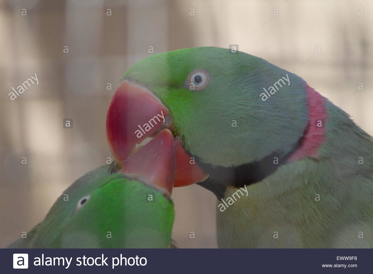 Two Love Birds Kissing in the Jungle Zoo in Cleethorpes, East of England - Stock Image