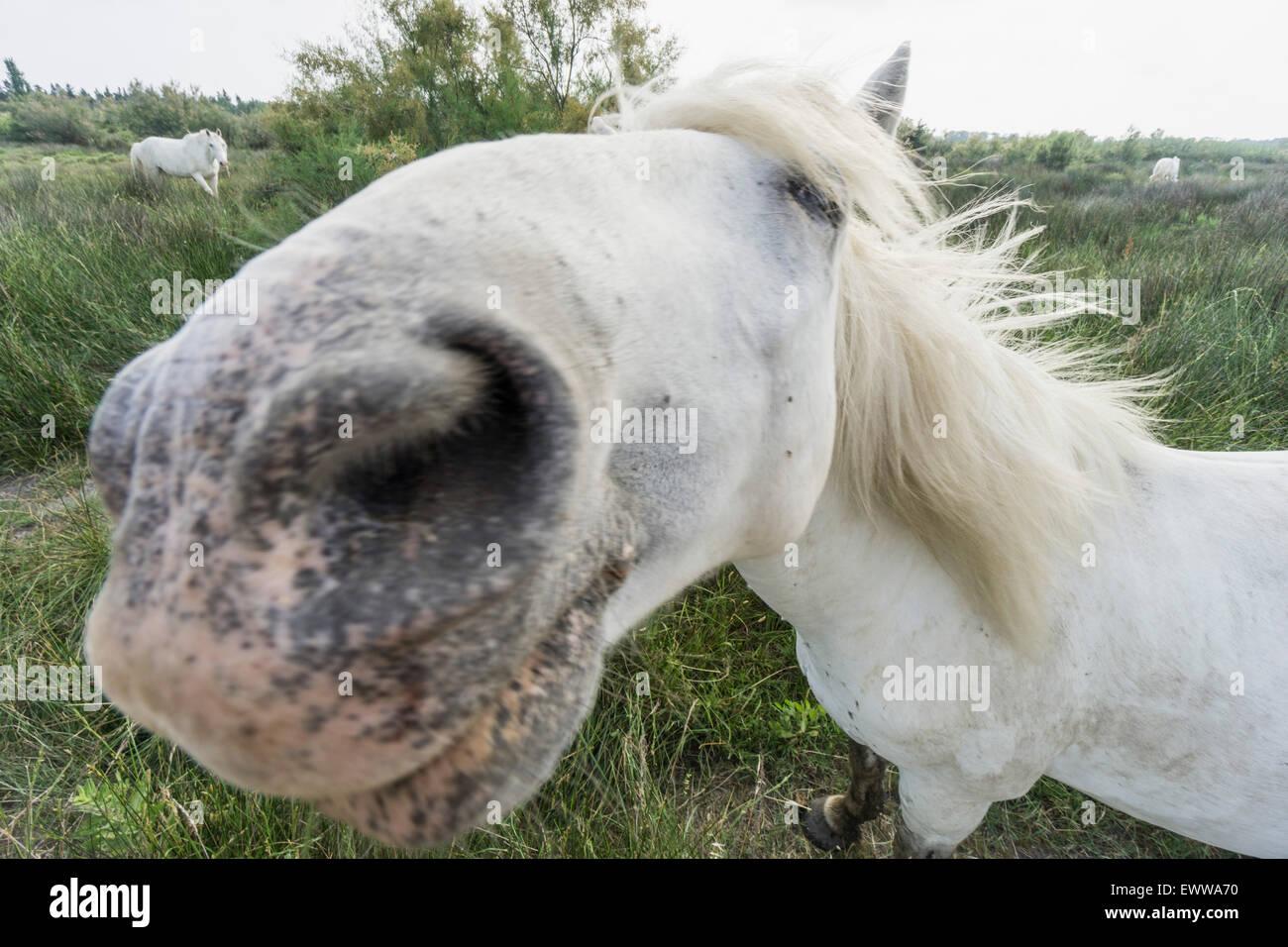 Camargue Horses (Equus caballus), Saintes-Marie-de-la-Mer, Camargue, France, Europe - Stock Image