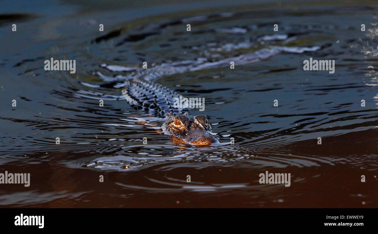 A young alligator swims at sunrise in the Florida Everglades near Ochopee, Florida. Stock Photo