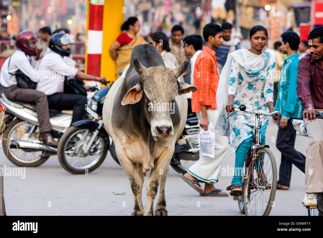Sacred Brahmin bull / cow wanders through the street.  Here at Gadolia Chowk a busy shopping distrct / area of Varanasi. Stock Photo