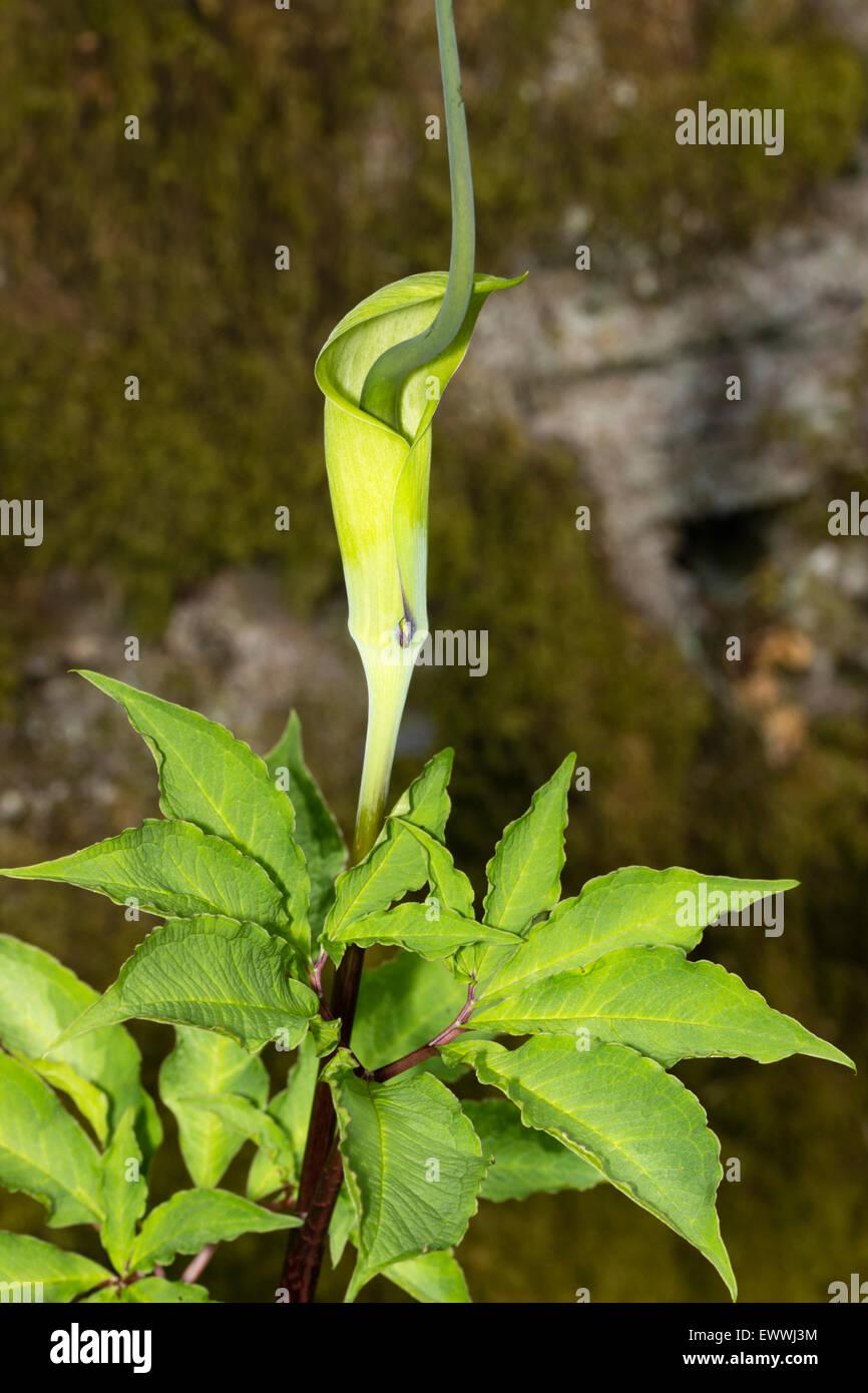 Cobra Lily Stock Photos Cobra Lily Stock Images Alamy