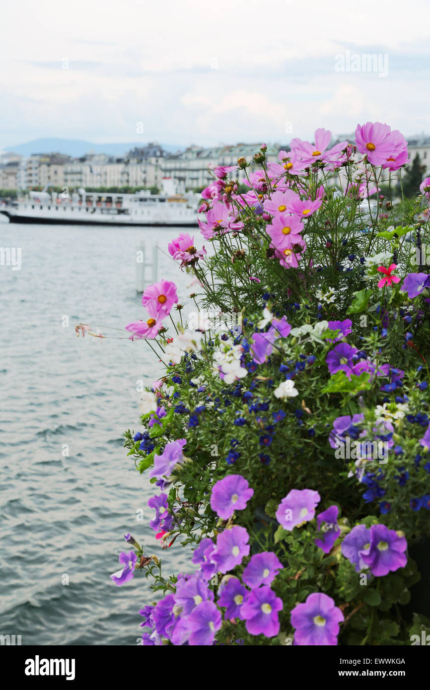 Pink cosmos and purple pansy flowers next to Geneva lake, Swiss Stock Photo