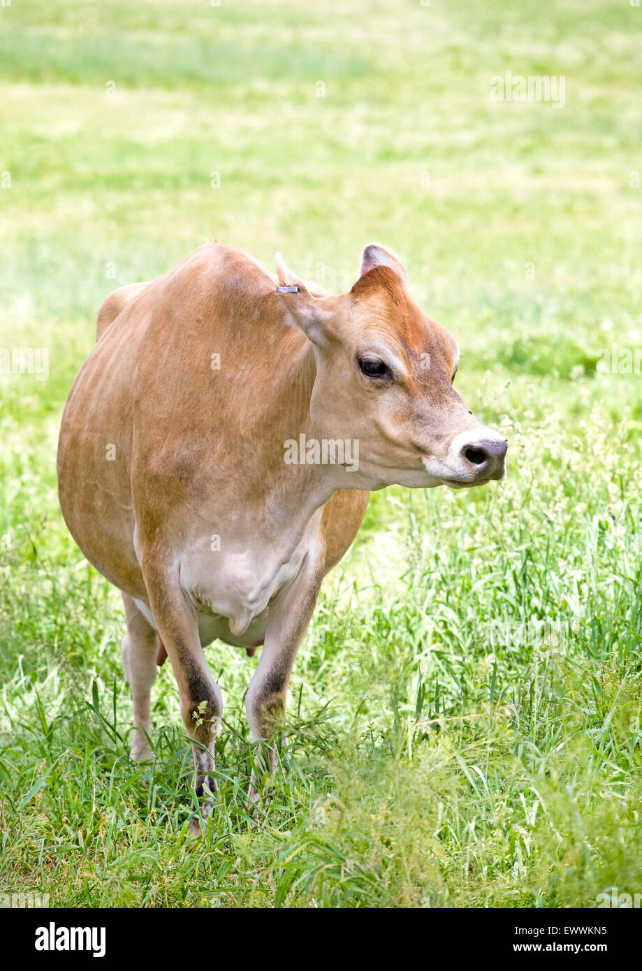 Jersey Cow Stock Photos & Jersey Cow Stock Images - Alamy