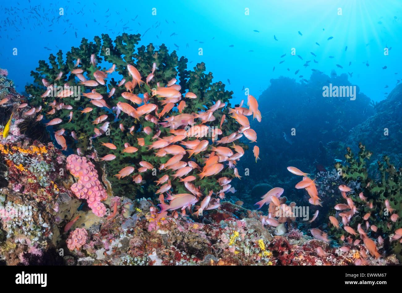 Scalefin anthias, Pseudanthais squammipinnis, Anilao, Batangas, Philippines, Pacific - Stock Image