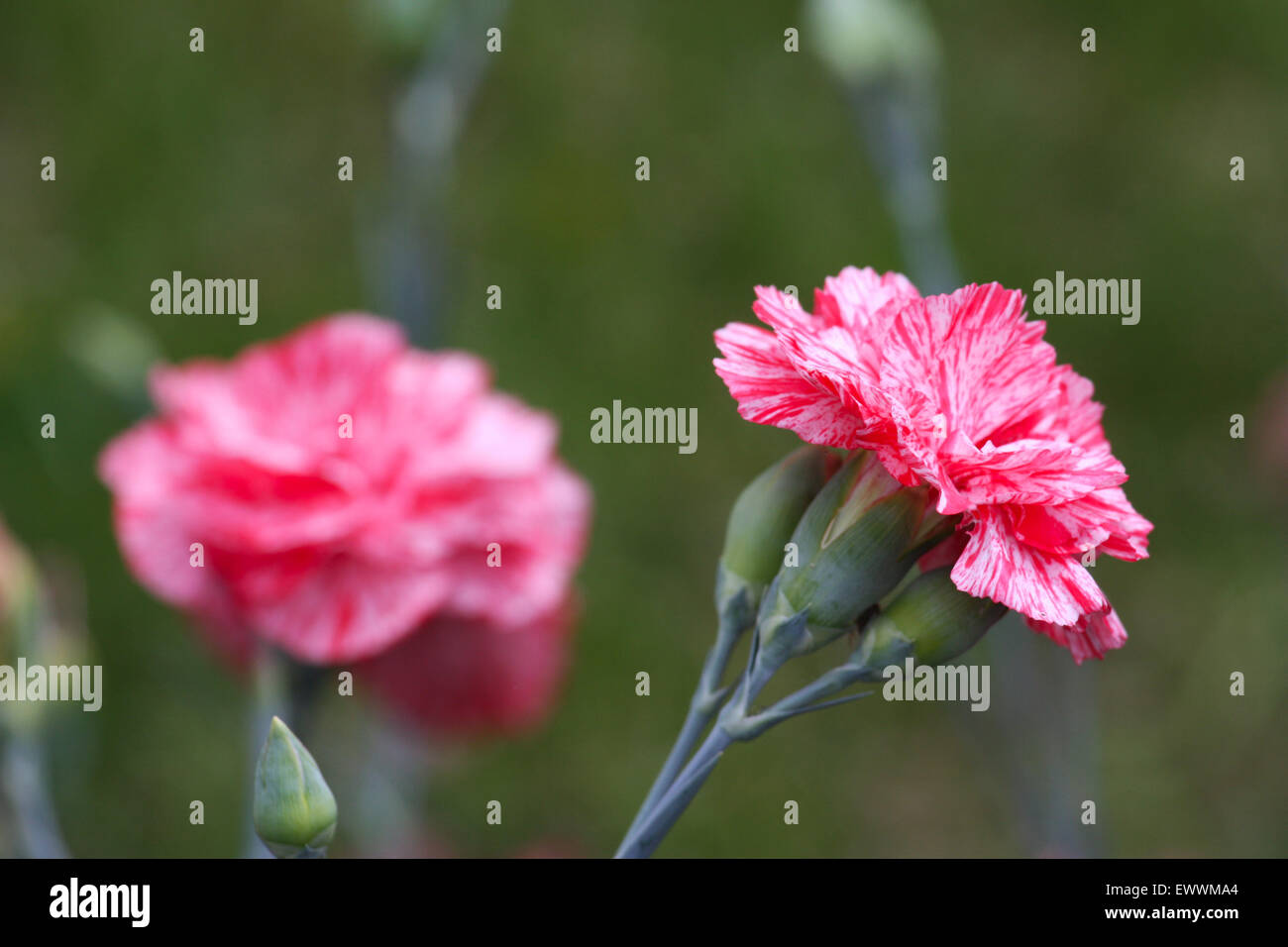 Red white dianthus flowers Stock Photo