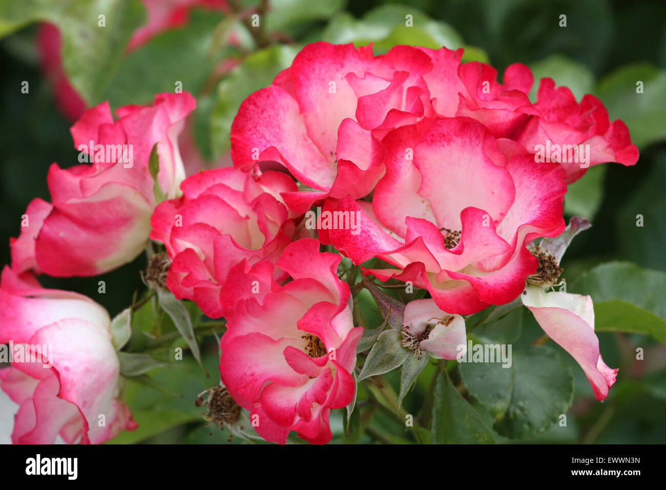 Red white rose flowers Stock Photo
