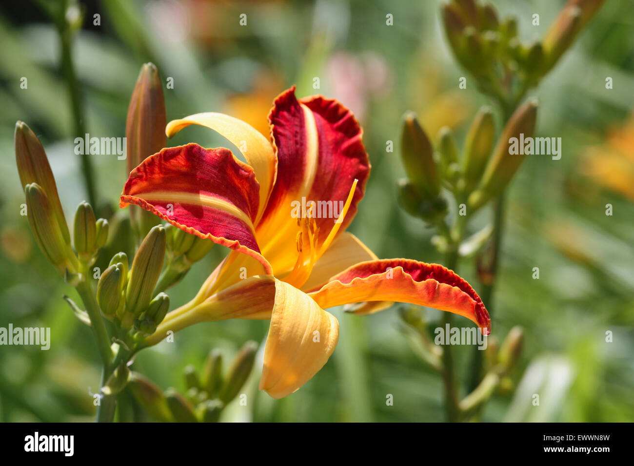 Red yellow lily flower Stock Photo