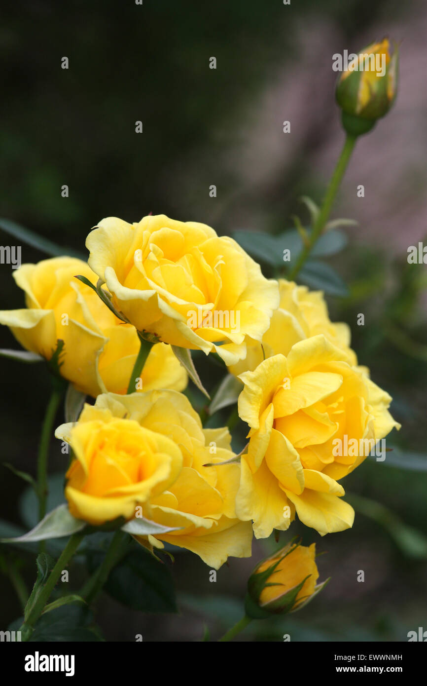 Yellow rose flowers and bud Stock Photo