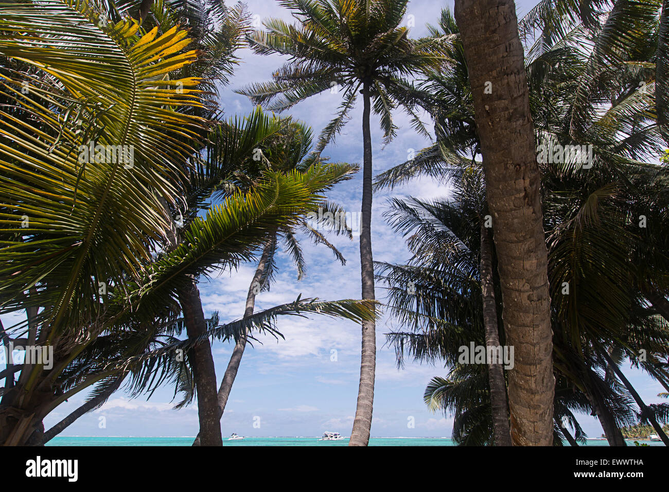 Palm trees on Half Moon caye, Belize - Stock Image