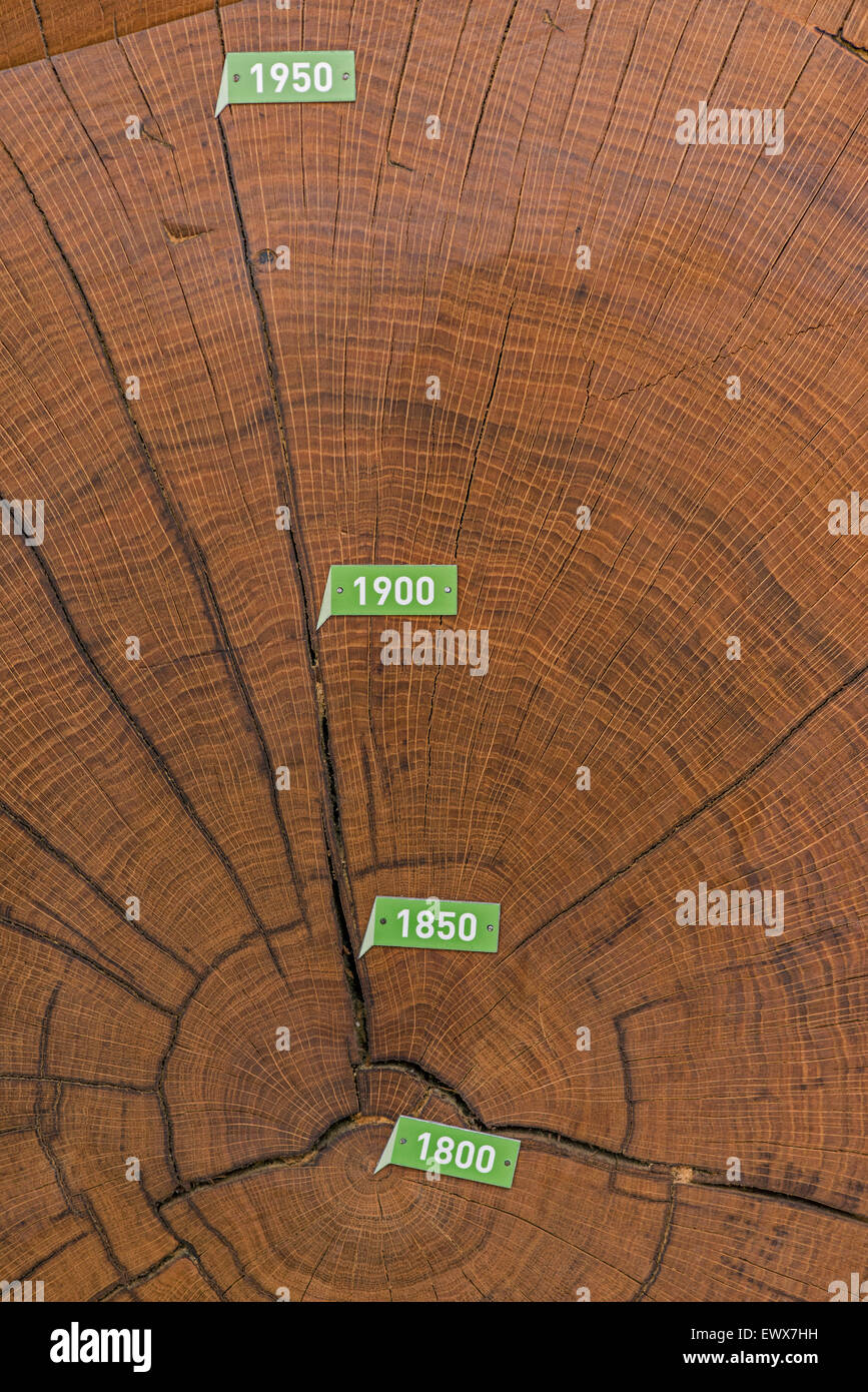 Cross section of bicentennial oak (Quercus sp.) trunk with annual rings from 1800, Mühlacker, Baden-Württemberg, - Stock Image