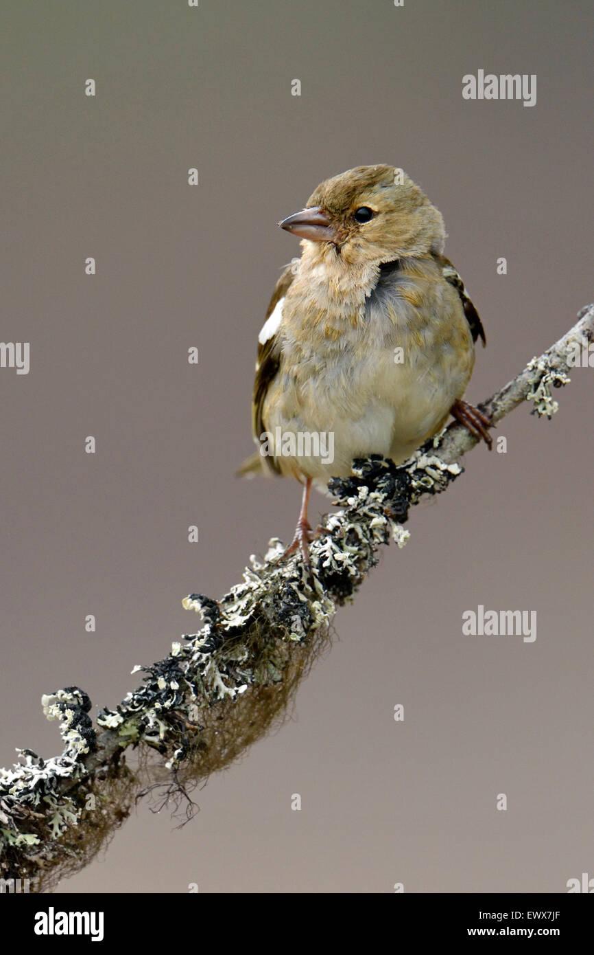 Common chaffinch (Fringilla coelebs), female sitting on branch, Hedmark, Norway - Stock Image
