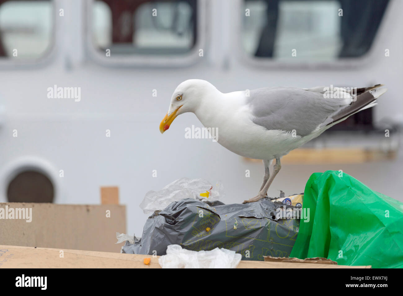 Lesser black-backed gull eating from a dustbin bag at  the harbor of IJmuiden, North Holland, The Netherlands. Stock Photo