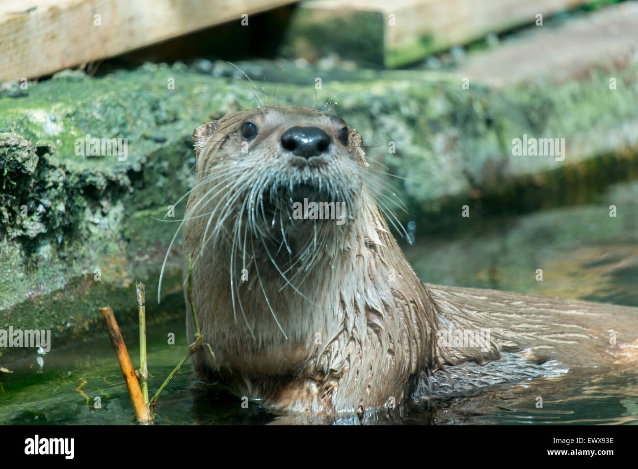 Otters are carnivorous mammals in the subfamily Lutrinae. The 13 extant otter species are all semiaquatic, aquatic - Stock Image