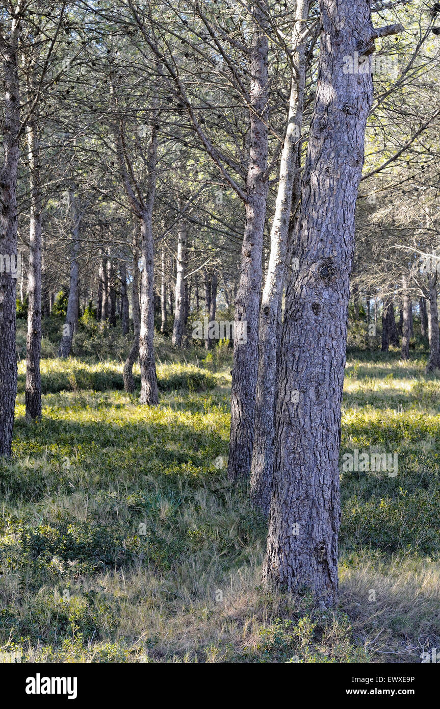 Aleppo Pines, Pinus halepensis, in the Montgrí, Medes Islands and Baix Ter Natural Park. Girona. Catalonia. - Stock Image