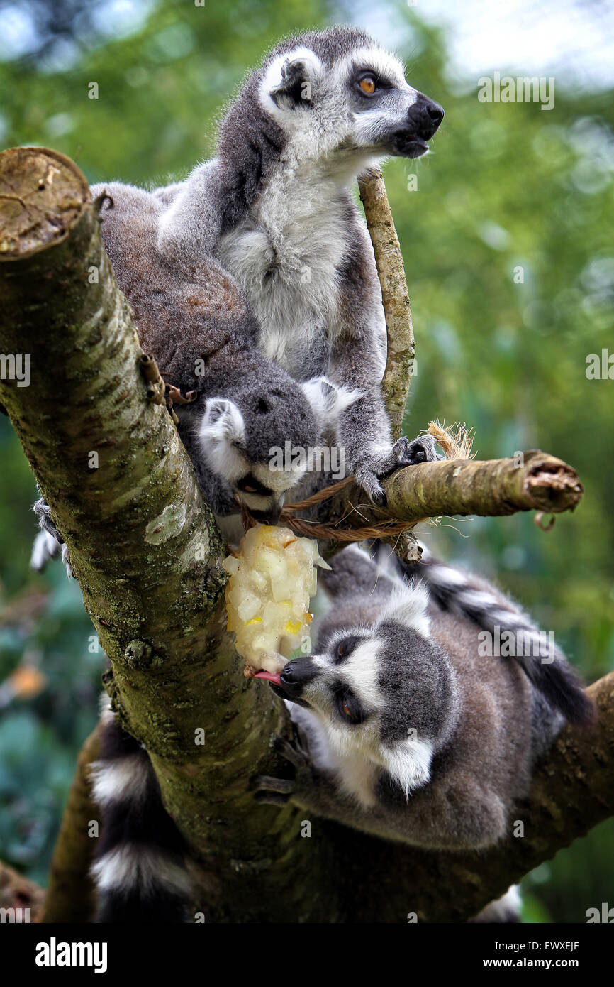 Ring tailed lemurs cool off with a fruit filled ice lolly  at Cotswold Wildlife Park on the hottest July days for Stock Photo