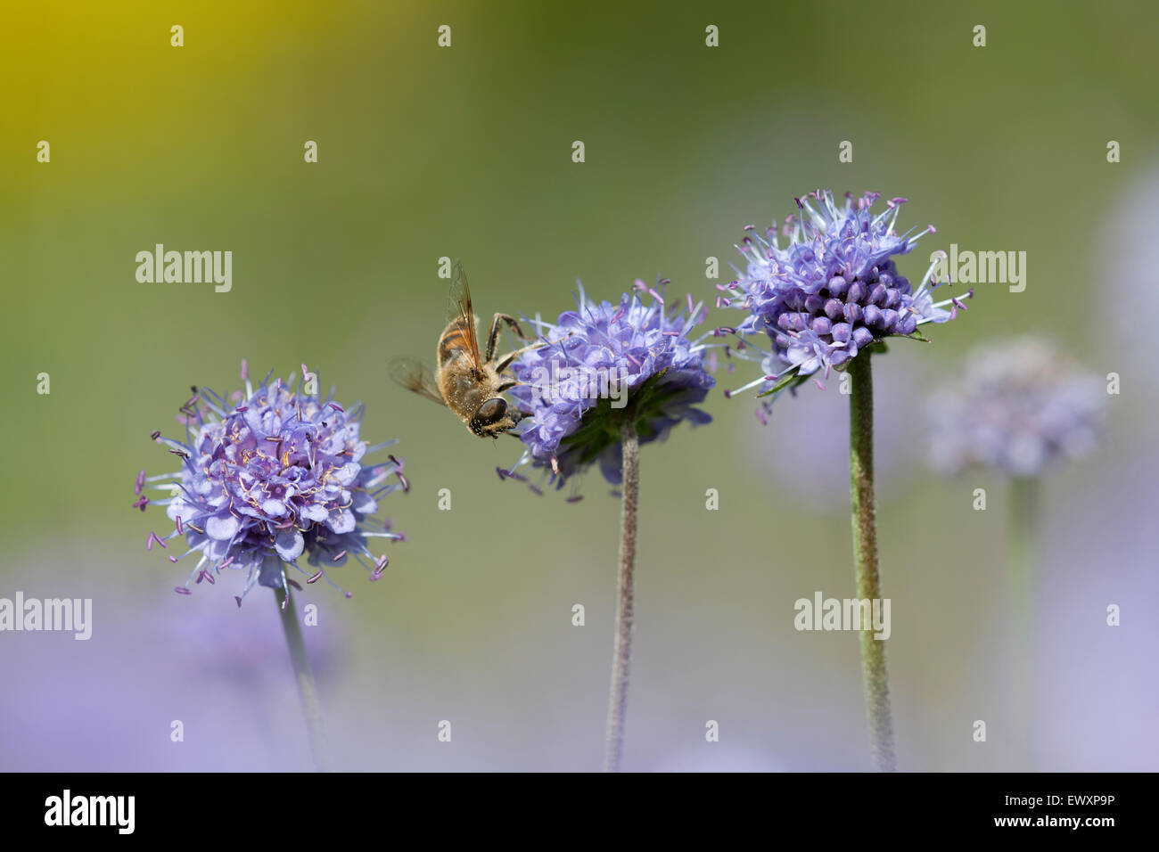 Devil's-bit Scabious,Succisa pratensis flowering on chalk grassland on The South Downs National Park,Great Britain - Stock Image