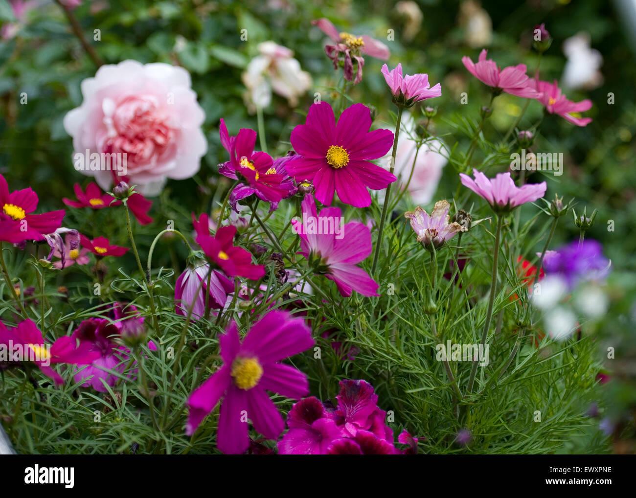 cottage garden border flowers - Stock Image