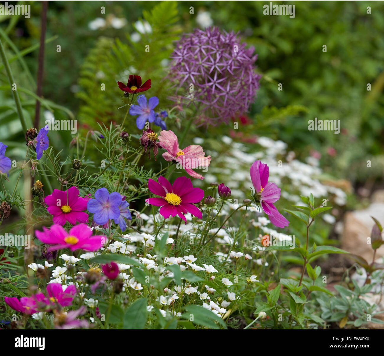 summer flowers in cottage garden - Stock Image