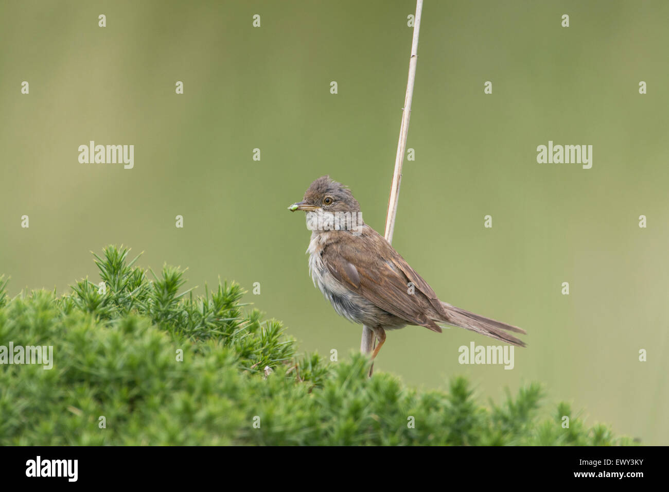 Whitethroat (Sylvia communis). Adult carrying invertebrate prey back to the nest. - Stock Image
