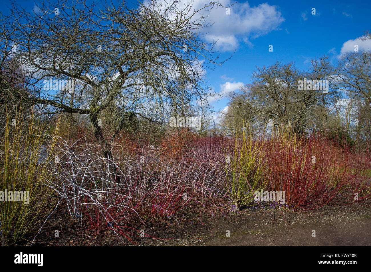 Colourful Stems of Salix and Cornus in the winter garden at RHS Wisley - Stock Image