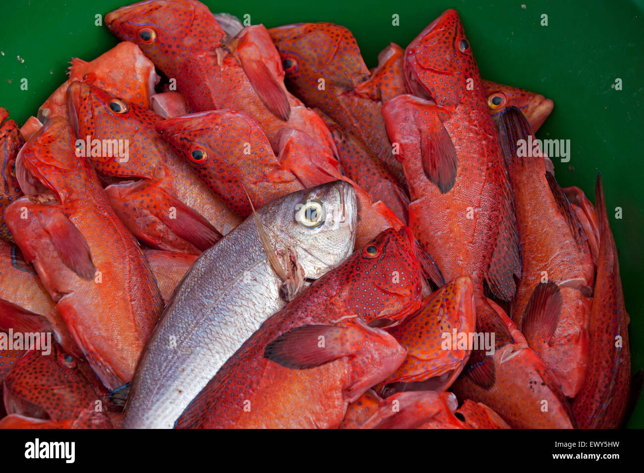 Fresh catch of red garoupa fish / grouper in the harbour of the fishing village Palmeira on the island of Sal, Cape - Stock Image