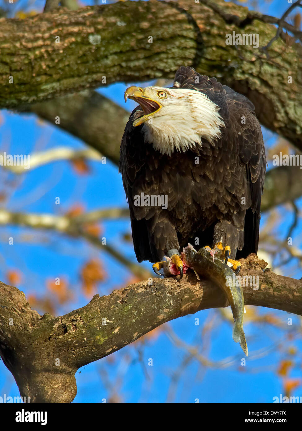 American Bald Eagle with Fish - Stock Image