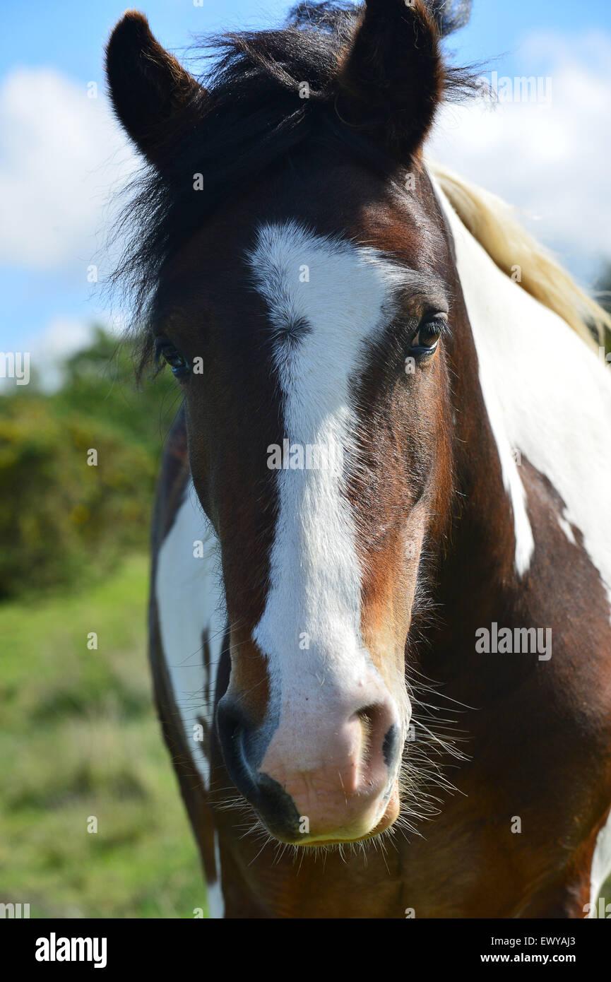 Spotted saddle stallion horse with irregular blaze. - Stock Image