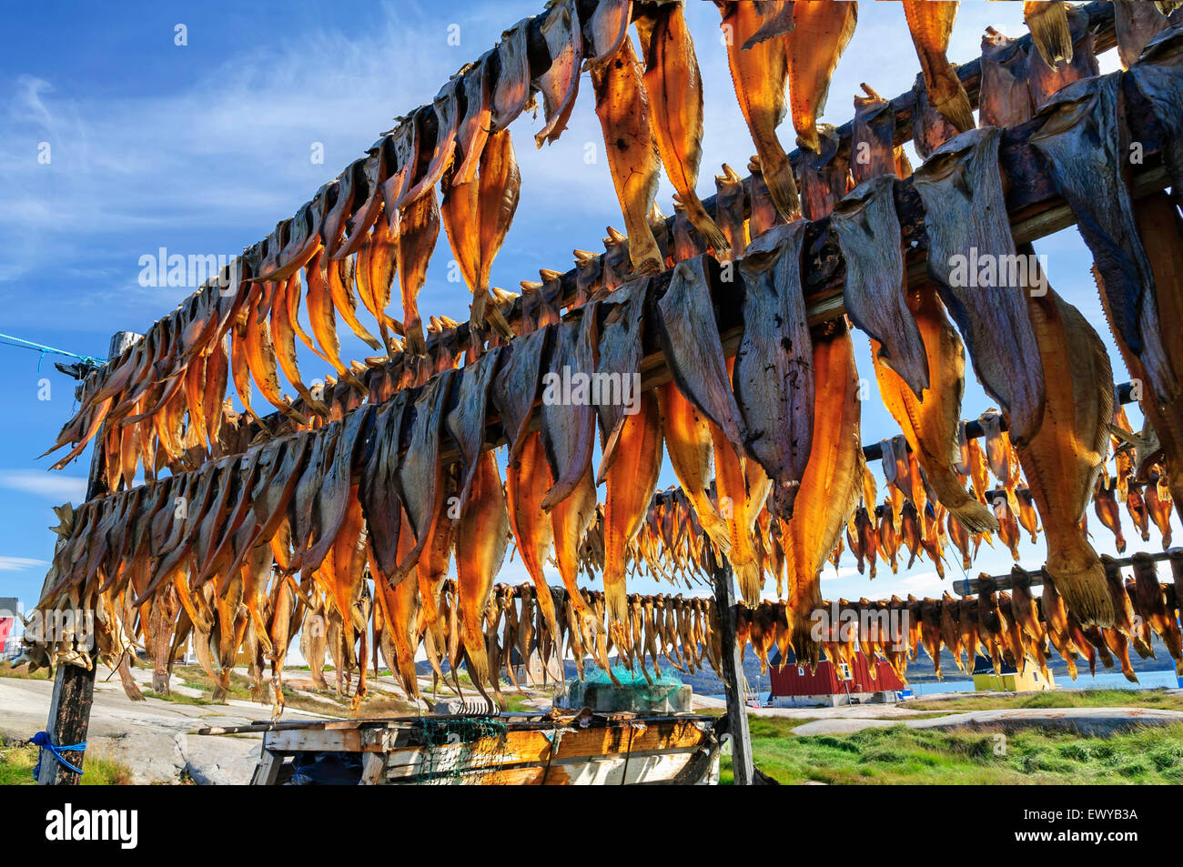 dried fish in rodebay settlement greenland drying is a method of