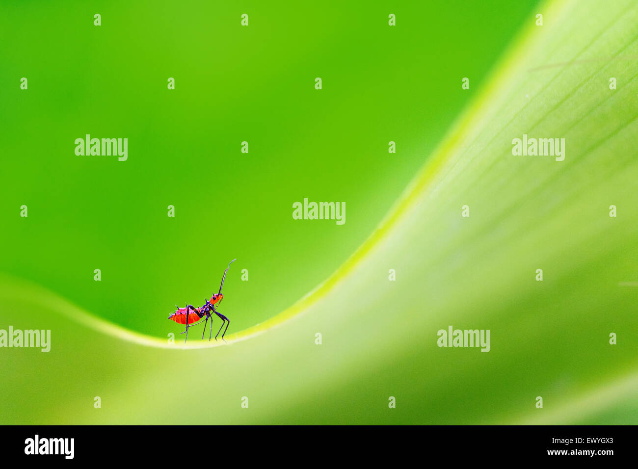 Close up of an insect, Gorontalo, Indonesia - Stock Image
