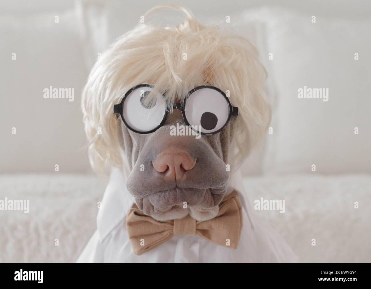 Shar pei dog dressed as a crazy professor - Stock Image