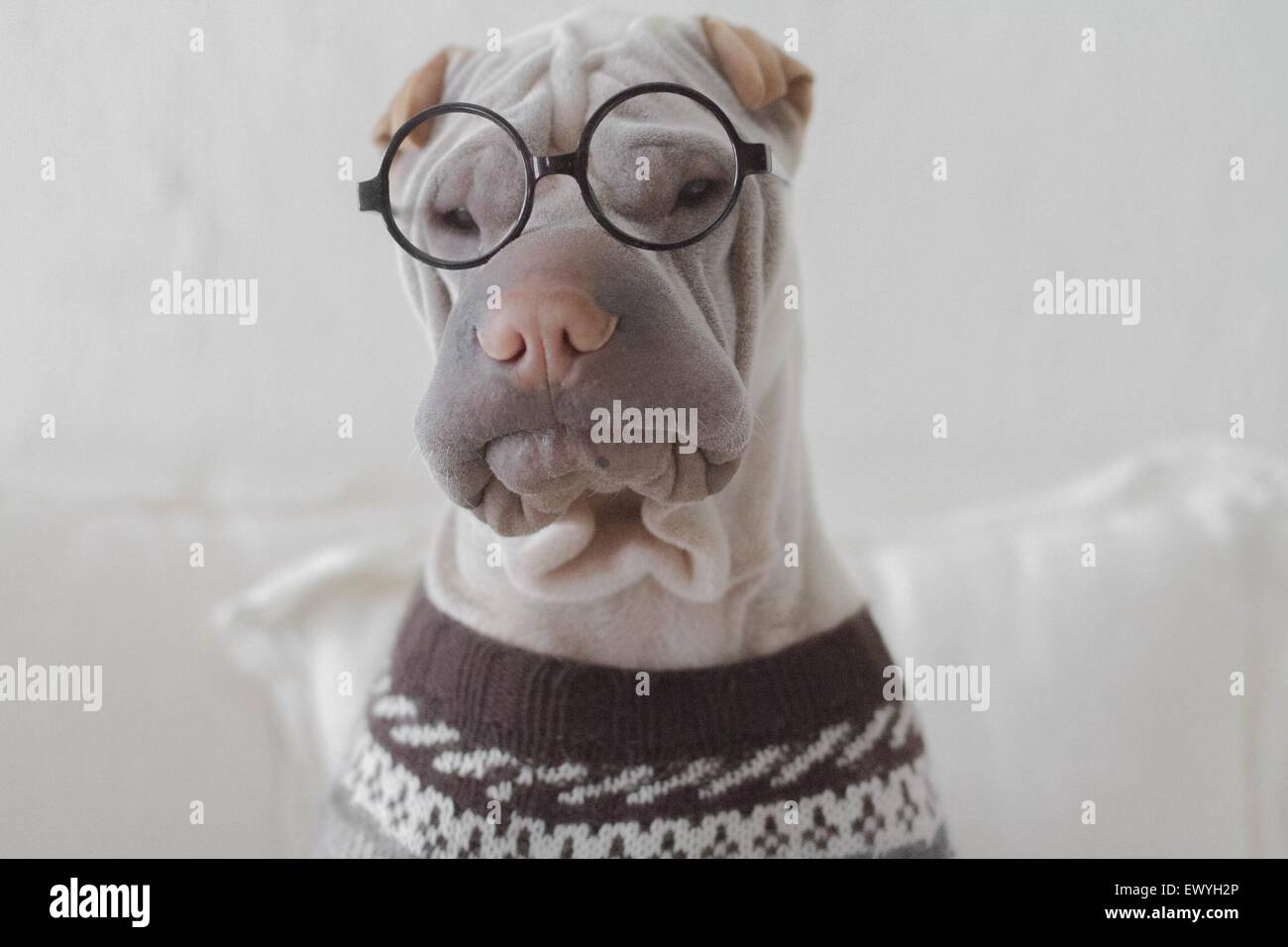 Portrait of a shar pei dog looking intellectual - Stock Image