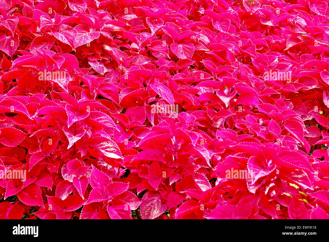 A Bush Of Red Flowers And Red Leaves In A Garden In Boquete Chiriqui