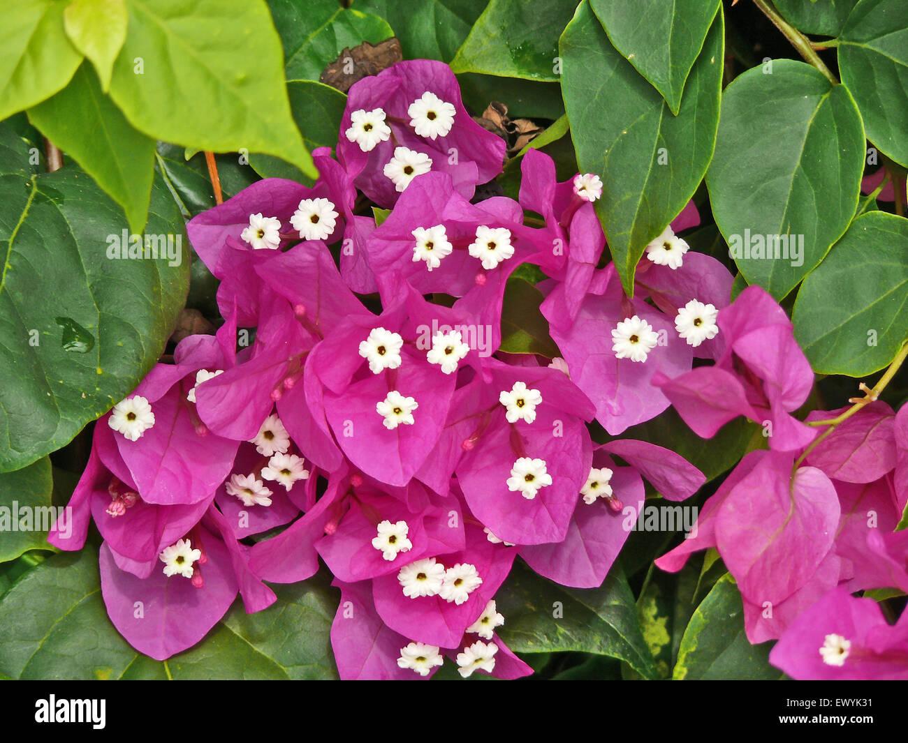 Bush Small Purple Flowers South Stock Photos Bush Small Purple