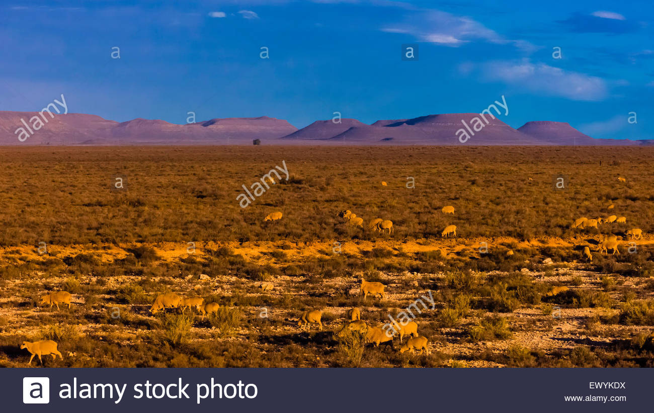 Sheep, Rovos Rail train  'Pride of Africa' crosses the Great Karoo Desert on it's journey between Pretoria - Stock Image