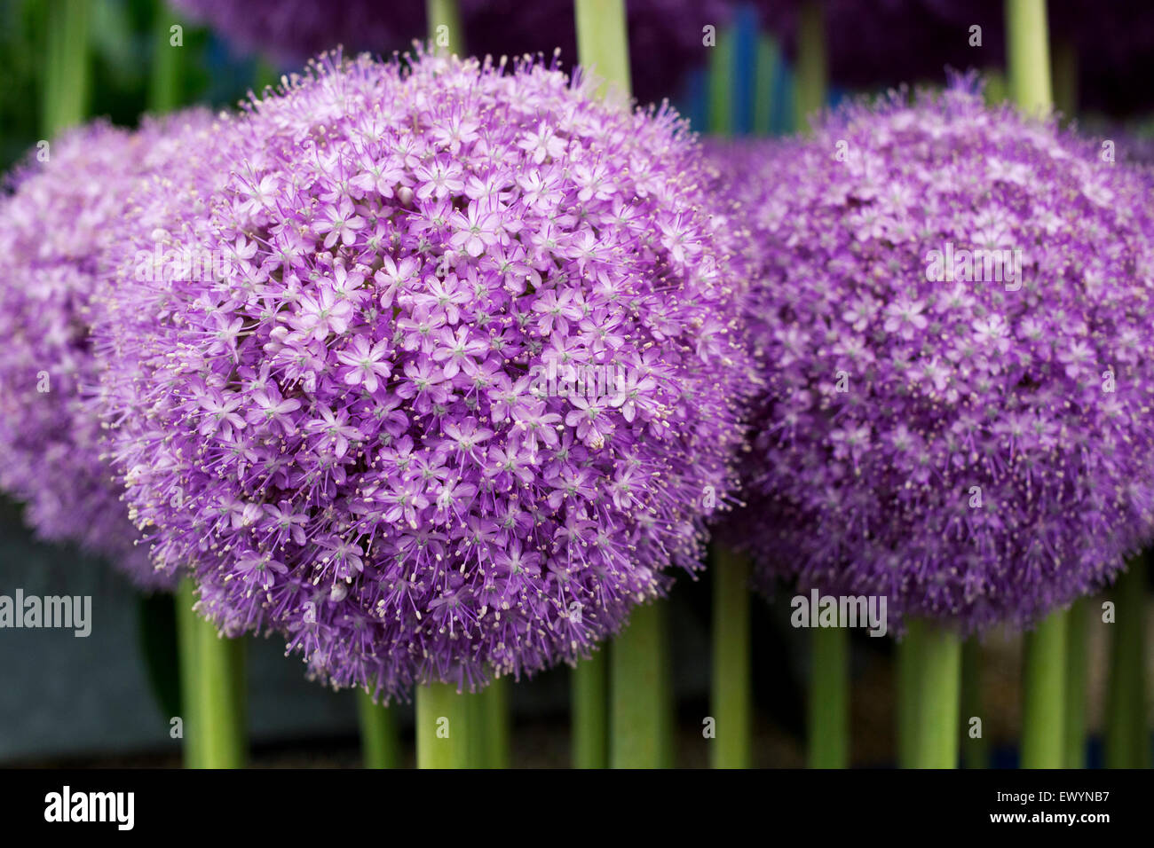 Gold medal winning Alliums on display at the RHS Hampton Court Flower Show 2015 - Stock Image