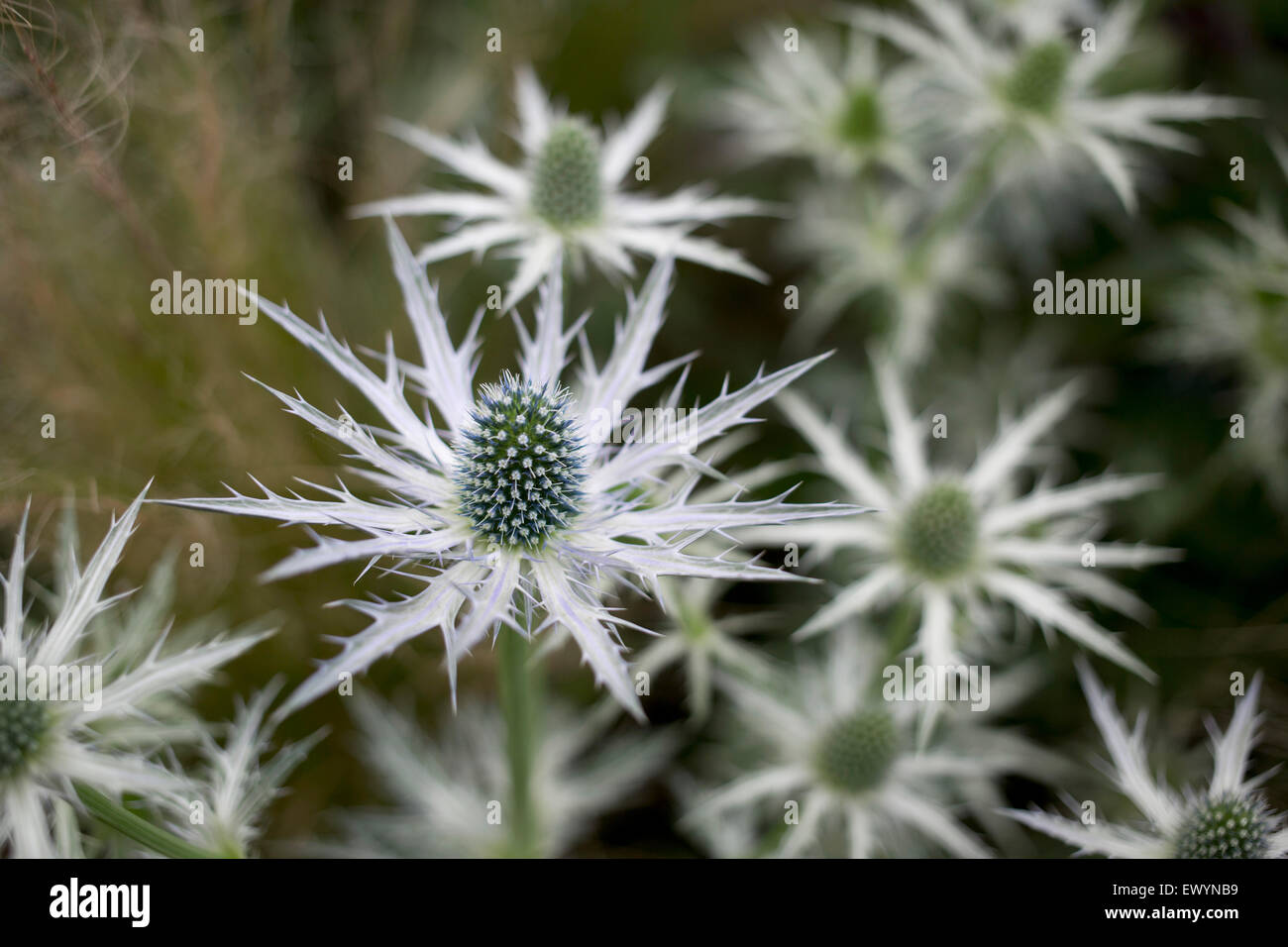 thistle spiked flowers on display at the RHS Hampton Court Flower Show 2015 - Stock Image