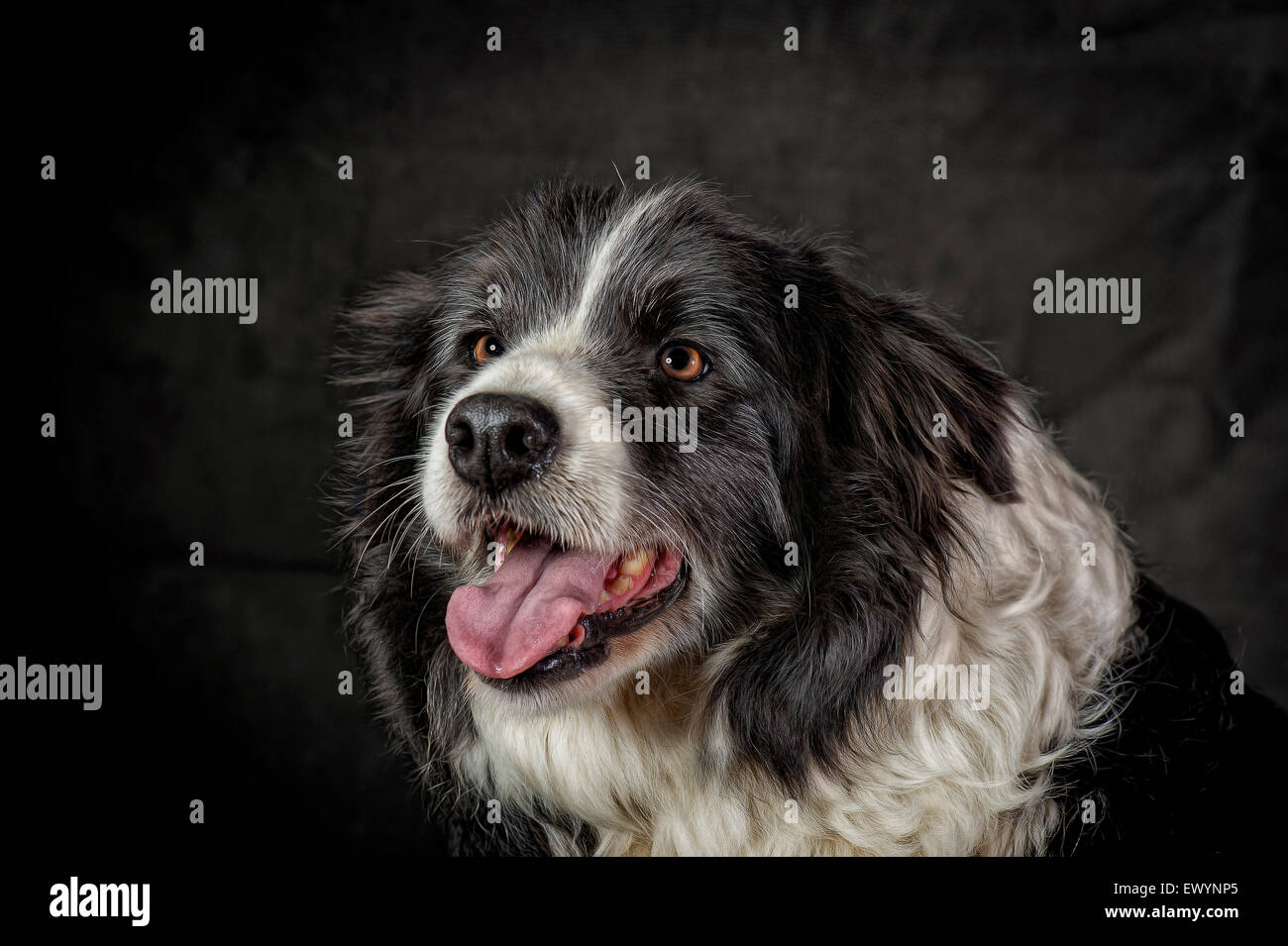 Lovely portrait of an old Border collie - Stock Image