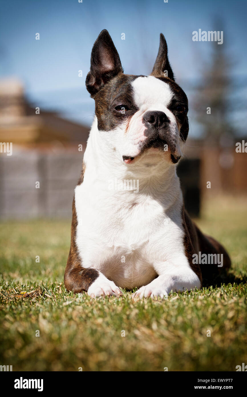 Female Boston Terrier (White and Brindle) Sitting in the Sun - Stock Image