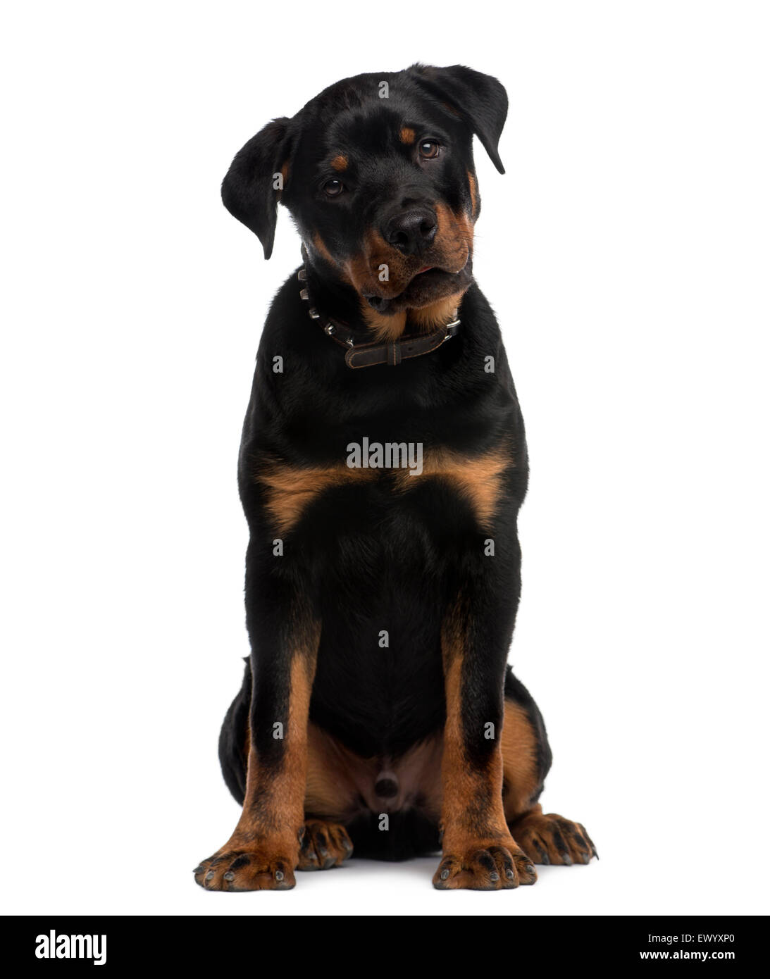 Rottweiler (9 months old) sitting in front of a white background - Stock Image