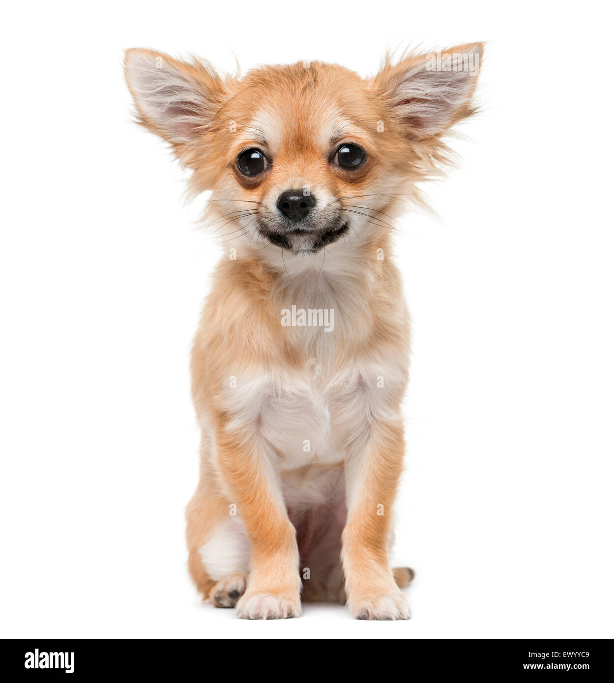 Chihuahua puppy (4 months old) in front of a white background - Stock Image