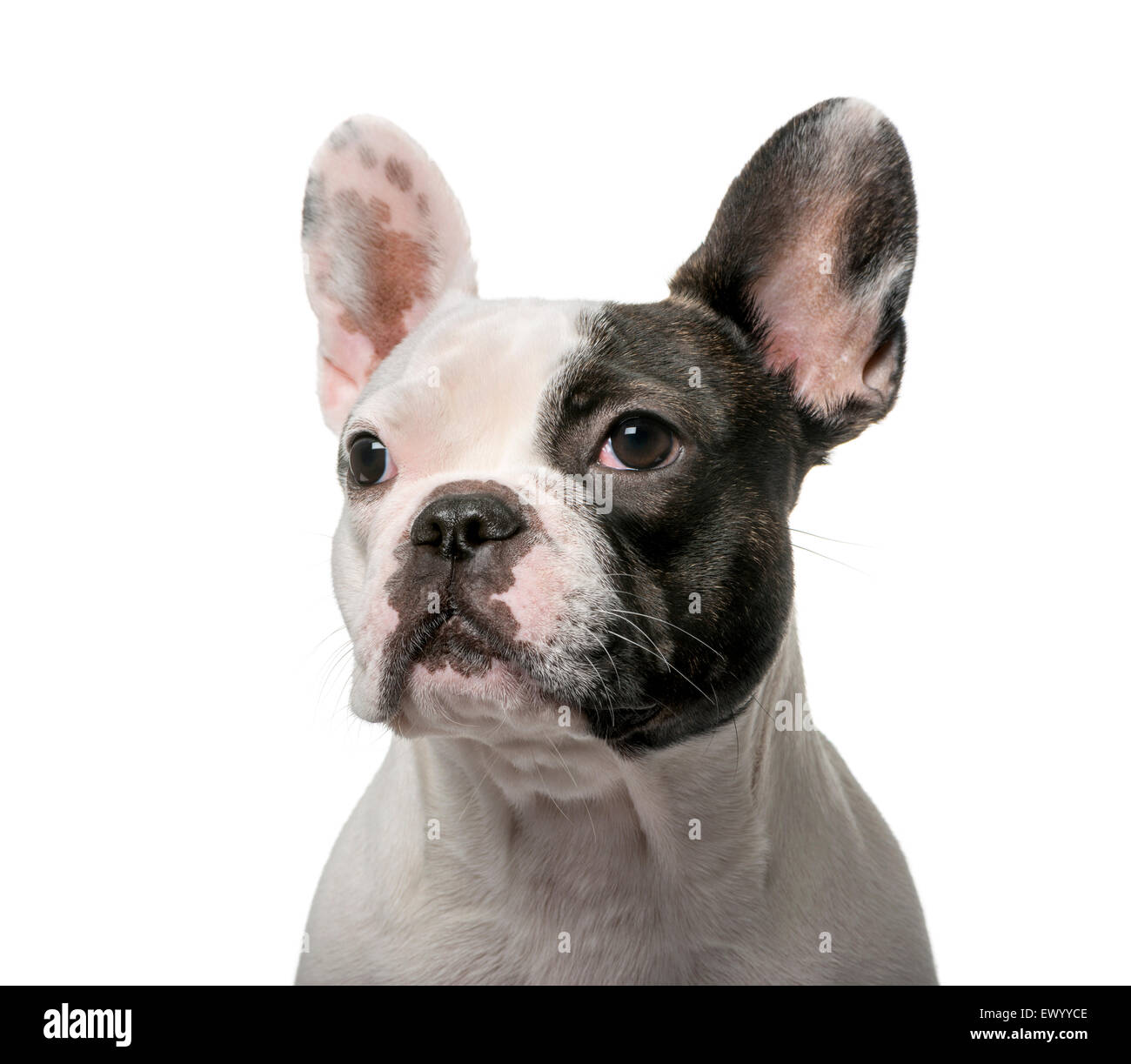 French Bulldog (9 months old) in front of a white background - Stock Image