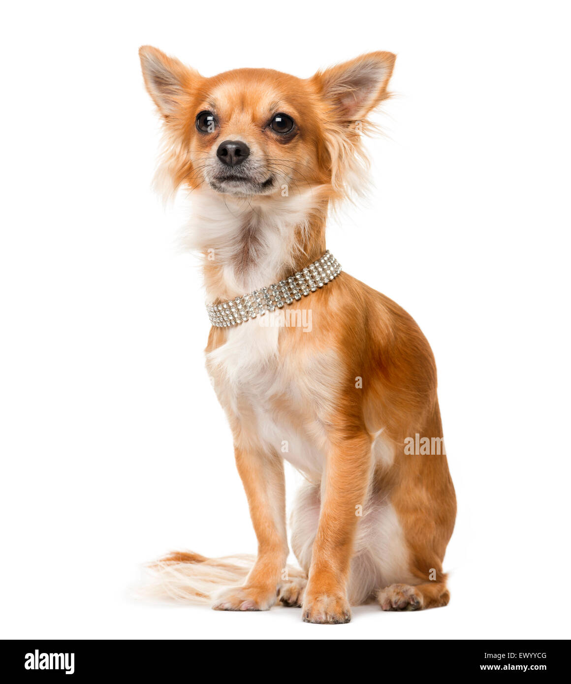Chihuahua (2 years old) in front of a white background - Stock Image