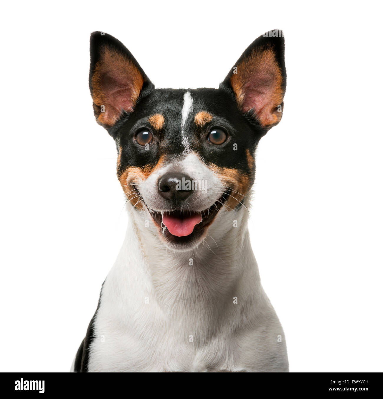 Jack Russell Terrier (7 years old) in front of a white background - Stock Image