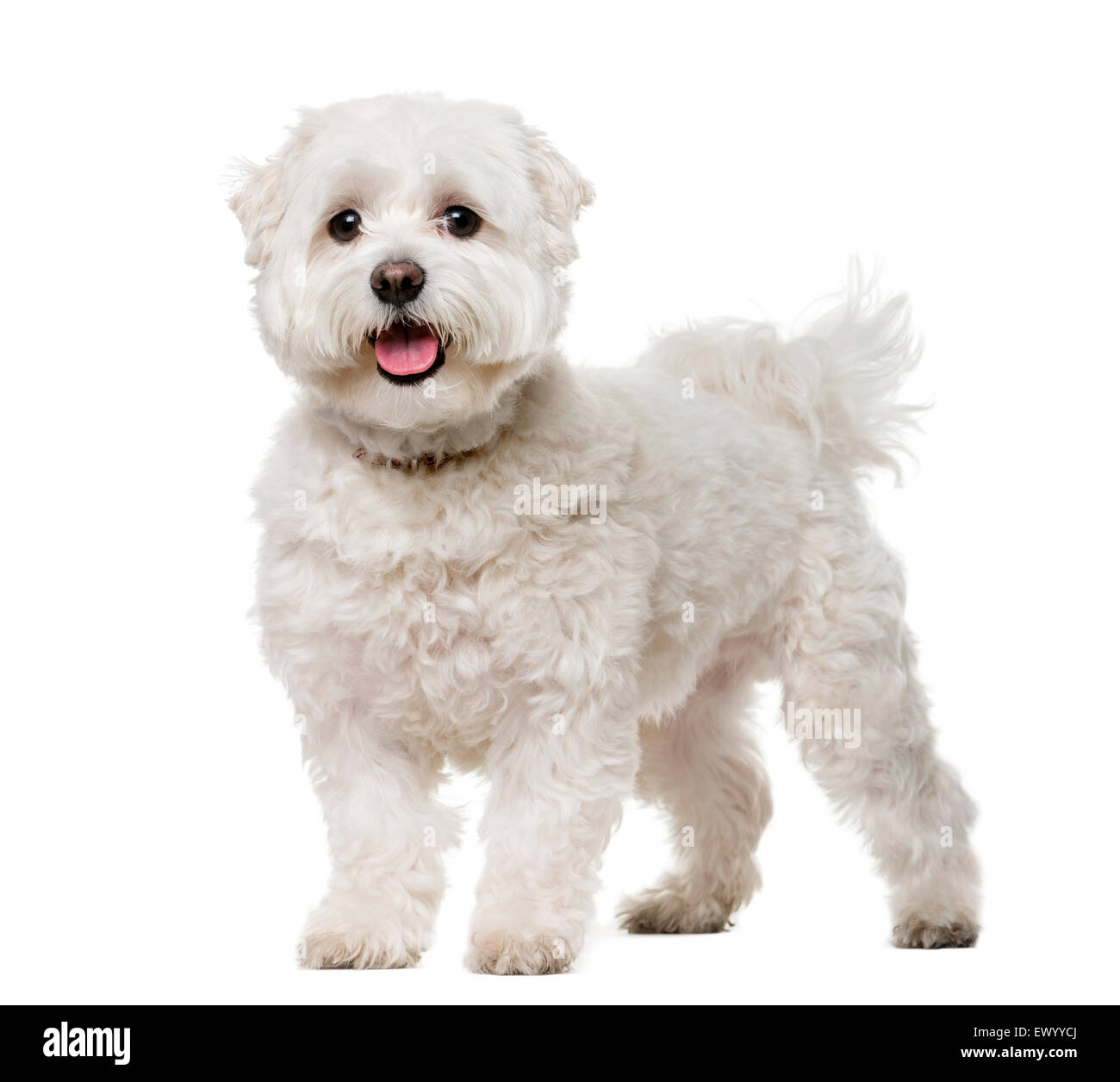 Maltese (5 years old) in front of a white background - Stock Image