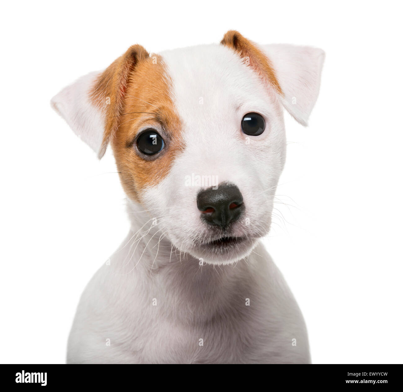 Jack Russell Terrier puppy (2 months old) in front of a white background - Stock Image