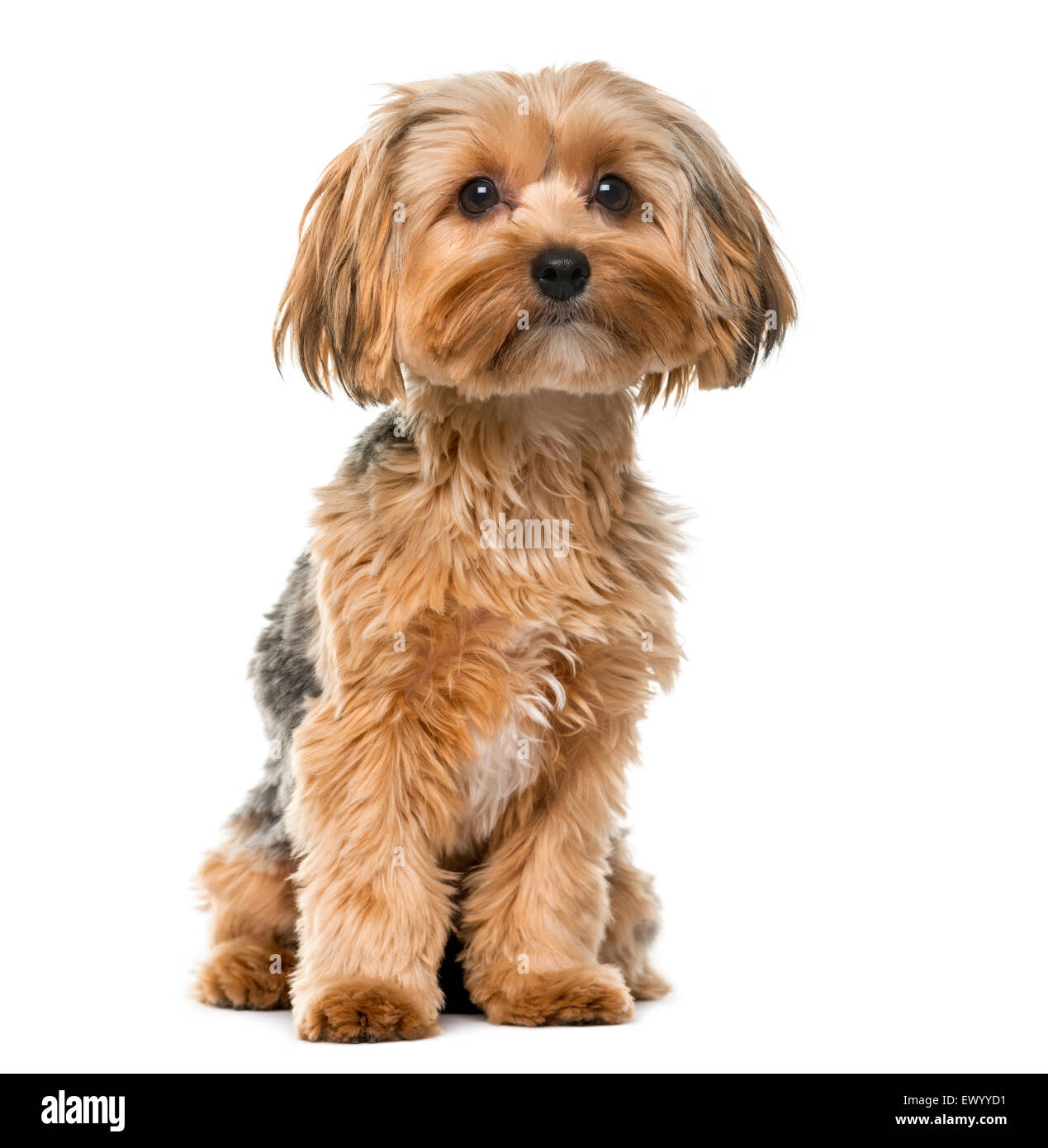 Yorkshire terrier in front of a white background - Stock Image