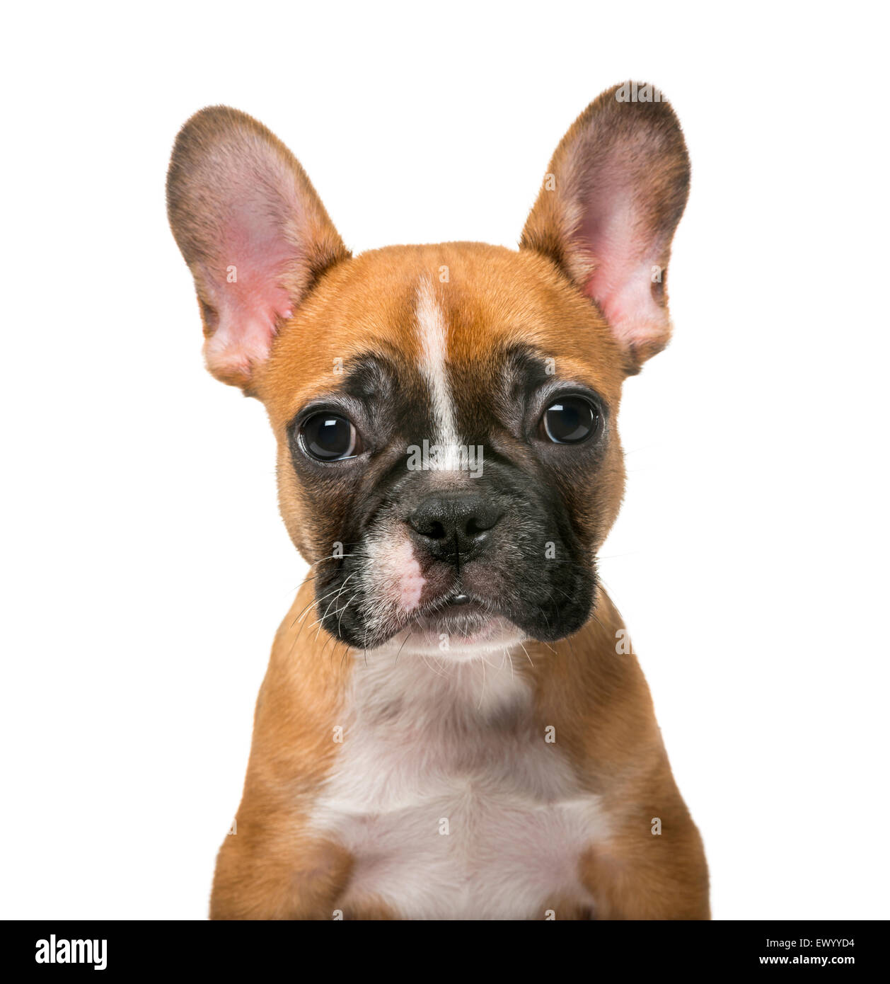 French Bulldog puppy in front of white background Stock Photo