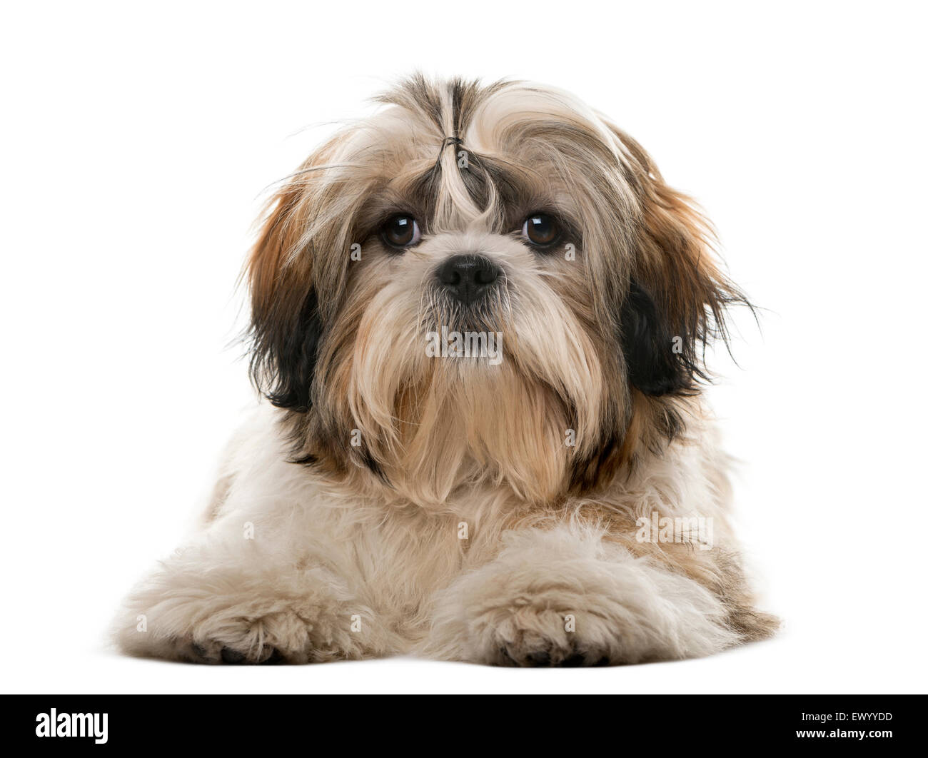 Shih Tzu in front of a white background - Stock Image