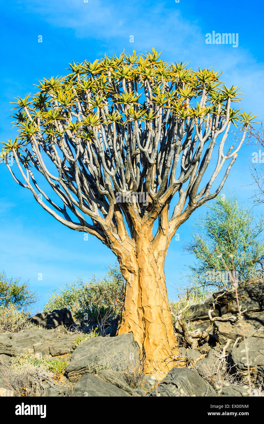Quiver tree or kokerboom (Aloe dichotoma), Quiver Tree Forest or Kokerboom Woud, Naukluft Mountains, Namibia Stock Photo