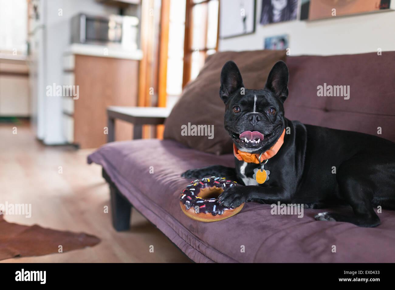Portrait of dog on sofa holding onto doughnut toy - Stock Image